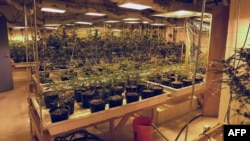 Marihuana en Lafayette, Colorado.