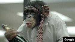 Los simios fabrican sus propias herramientas para obtener licor.