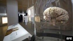 Cerebro en museo de evolución humana en Burgos, España
