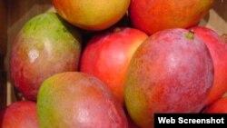Cuba exporta sus mejores mangos a Europa
