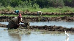 """""""No avanza la agricultura"""", se quejan los campesinos cubanos"""