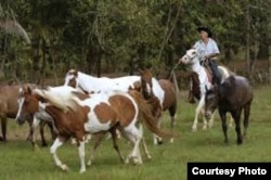 En La Guabina se crian caballos Apaloosa y pintos cubanos. Sus monteros no parecen cowboys, pero son tan hábiles como estos.