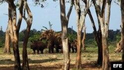 Una elefanta y varios rinocerontes caminan por la Pradera Africana del Zoológico Nacional de Cuba. De las selvas de Namibia a las abiertas praderas cubanas.