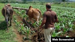 Campesinos pinareños