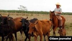 Reporta Cuba Ganadería Foto Cuba