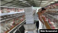Reporta Cuba huevos Cuba Cu