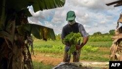 Un hombre cultiva lechugas para vender, a las afueras de La Habana. (YAMIL LAGE / AFP)