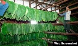 Cosecheros de tabaco tratan de salvar la hoja en medio de las lluvias
