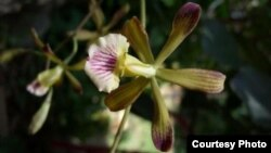 Orquidea cubana