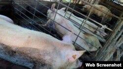 El Estado cubano sólo vende a los productores privados el 30% del alimento que consumen los cerdos.