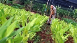 Aseguran que producción agrícola cubana no ha incrementado