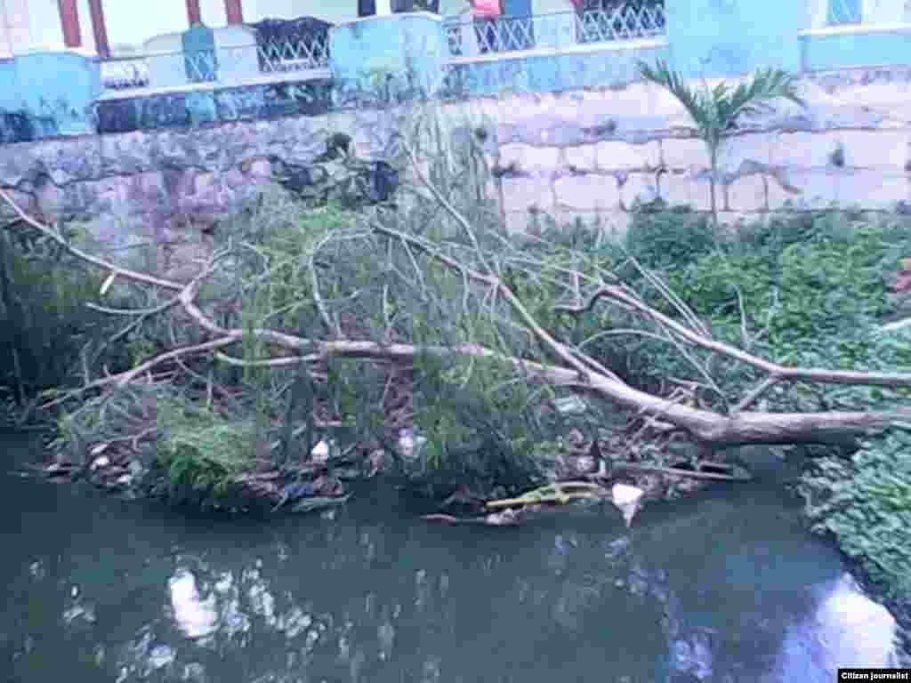 La muerte de uno de los pocos sauces que quedaban en el río Ariguanabo
