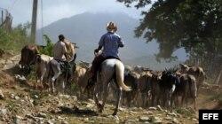 Los campesinos pastorean unas reses en una cooperativa.