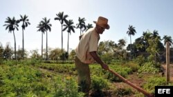 A falta de tecnología, la agricultura cubana depende en gran medida del trabajo manual del campesinado.