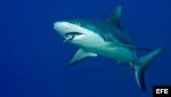 La disminución de los tiburones en una zona suele ser devastadora porque afecta toda la cadena alimenticia marina.