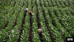 Informe revela la grave crisis financiera del sector agrícola cubano