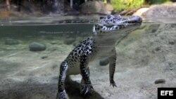 Un ejemplar de cocodrilo cubano (Crocodylus rhombifer). Los cocodrilos cubanos están considerados los más peligrosos de su especie y los más raros del mundo. EFE/Marius Becker