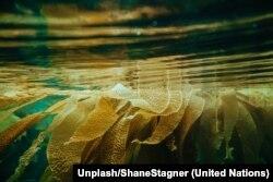 Las algas marinas pueden usarse como alimento para los animales y podrían ayudar a reducir las emisiones de gases de efecto invernadero. Foto: Unsplash/Shane Stagner.
