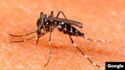 Los mosquitos contagian dengue y malaria a millones de personas en el mundo.