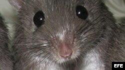 Ratón empleado en el experimento por un grupo de investigadores de Shanghai.