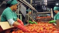 Campesinos disminuyen producción de tomate ante falta de atención del estado