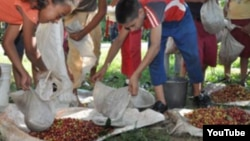 Reporta Cuba estudiantes recogen café en Cuba