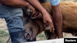 Criadores de cerdos en una granja cubana.