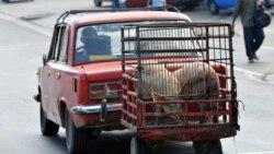 Confiscan cerdos criados en la ciudad de Santiago de Cuba