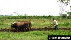 Habana campos /campesinos/ foto lazaro yuri valle
