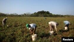 Campesinos recogen tomates en Artemisa