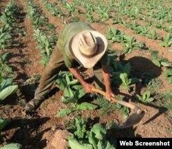 Usufructuario cubano labrando la tierra.