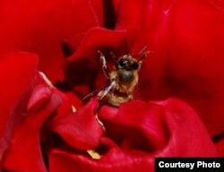 """""""Pero yo no sabía / lo que sabe la rosa de la abeja"""" (José Martí)"""