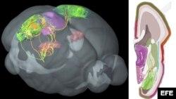 Científicos presentan mapa con las conexiones del cerebro humano.