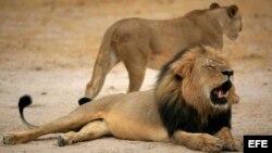 Estadounidense paga $55.000 para cazar a famoso león de Zimbabwe.