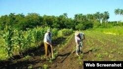 Reporta Cuba Campesinos cubanos trabajando