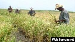 Siembra de arroz en Cuba. (Archivo)