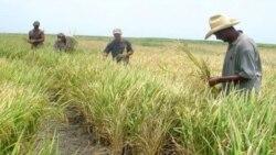 Caída en producción afecta suministro y precio del arroz en Cuba