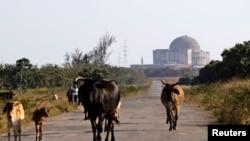 Las vacas pastorean en los alrededores de la abandonada planta nuclear de Juraguá.