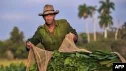 Foto Archivo. Un campesino recoge tabaco en San Juan y Martínez.