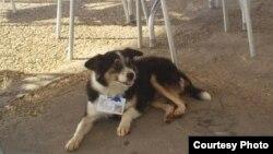 """Perros con credencial: """"Felipe"""", uno de los canes autorizados por Eusebio Leal. Foto: VM Dguez."""