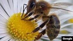 La exposición a los pesticidas redujo la densidad de abejas silvestres.