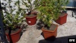 Varias plantas de marihuana.