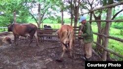 """El deterioro de la ganadería en Cuba durante la """"revolución"""" es una de las diferencias palpables si se compara con la que existía antes de 1959 (Archivo)."""