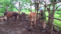 ¿Qué hace falta para mejorar la ganadería en Cuba?