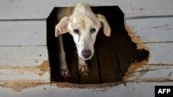 En las calles de La Habana abundan los perros abandonados, este corrió mejor suerte en el refugio creado por Noris Pérez. (YAMIL LAGE / AFP)