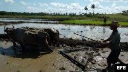 Campesinos cubanos preparan el terreno para la siembra de arroz.