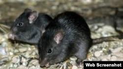 ratas negras Cuba