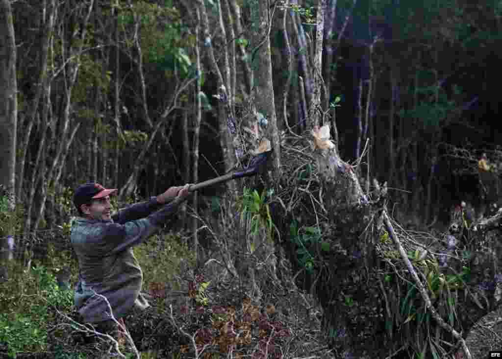 Un campesino corta madera para la dura tarea de hacer carbón.