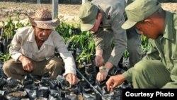 Vivero de semillas en Cuba.