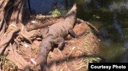 Cocodrilo entre desechos en el Zoológico de La Habana (Alejandra García).
